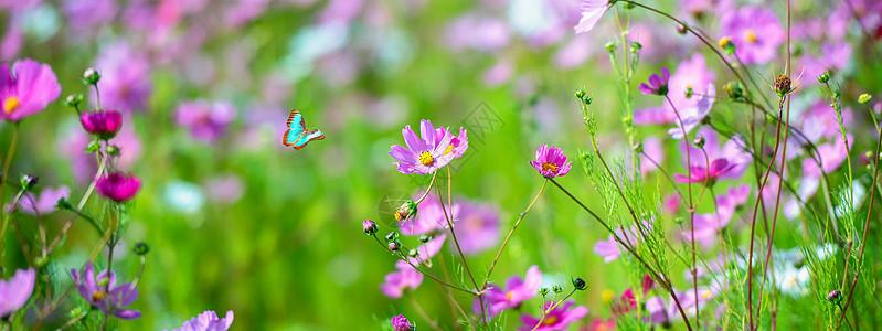 格桑花与蝴蝶图片