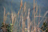 秋天芦苇图片