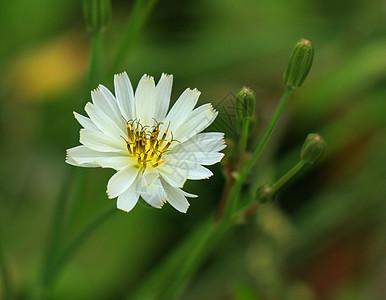 白色花瓣黄色花蕊的小花图片