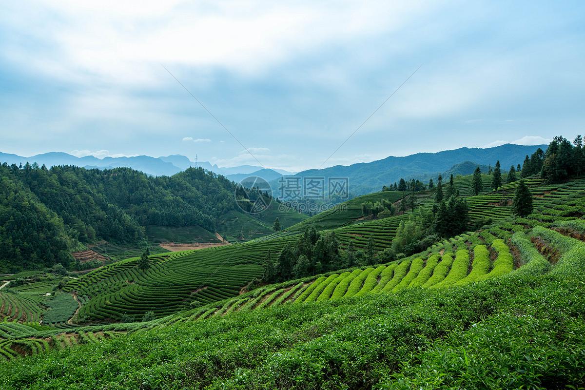 白茶有什么品种茶_白茶知识