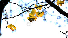 蓝天下的金色银杏叶图片