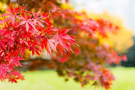 秋天的红色枫叶图片
