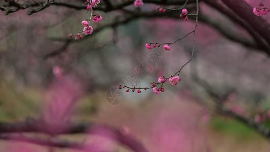 湖北武汉东湖梅园的梅花图片