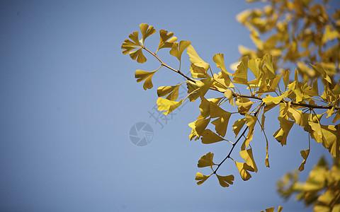 秋冬地坛公园里的枫叶银杏树木落叶景象图片