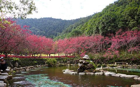 台湾冬天的樱花图片