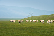 草原上吃草的羊群图片