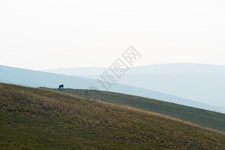 草原上吃草的牛图片