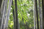 中国元素竹子500750692图片