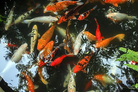 中国元素锦鲤鱼图片