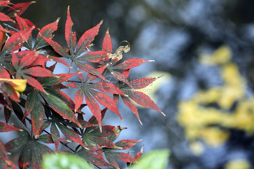 红枫叶图片
