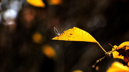 黄色树叶图片