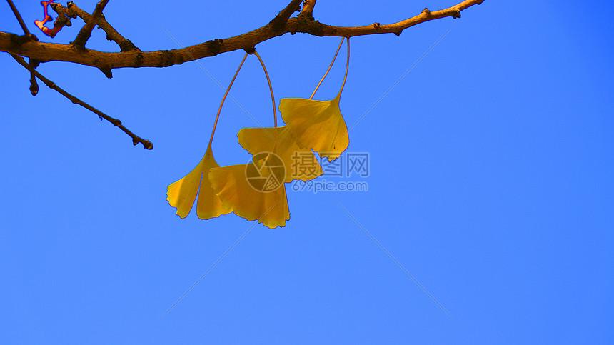 蓝天下的银杏叶图片