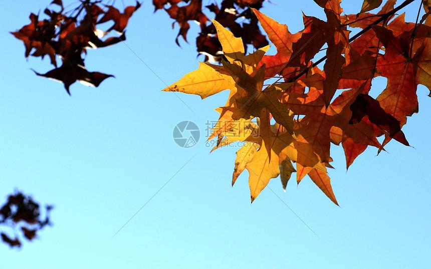 枫叶下图片