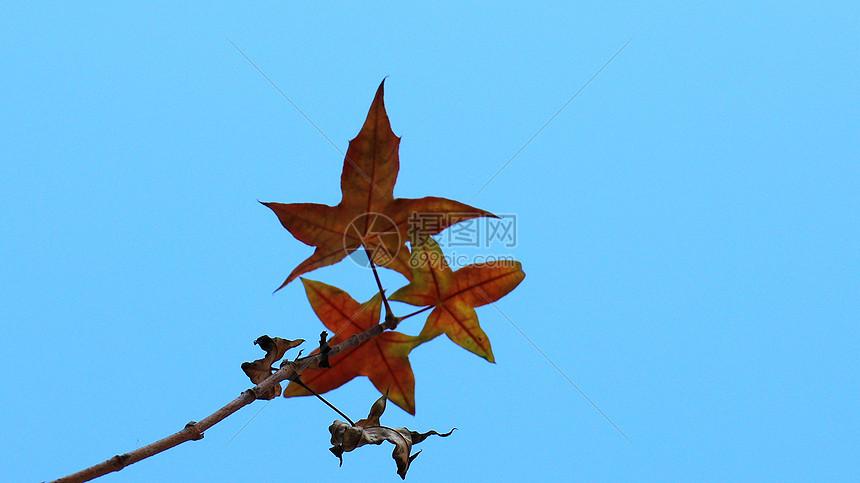 秋季梧桐叶图片