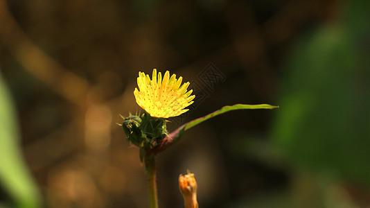 秋季黄色小花图片