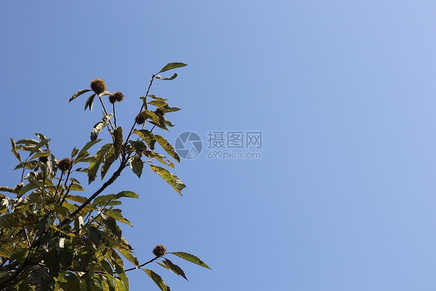 板栗树图片