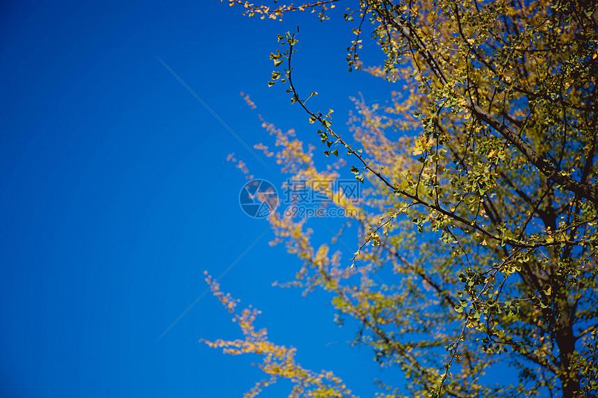 蓝天下的黄叶图片