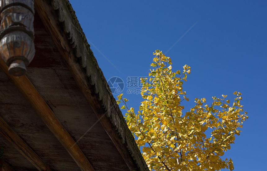 银杏风景图片