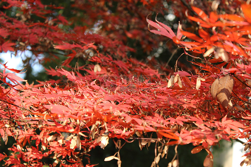枯萎的枫叶图片