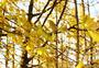 秋天的银杏图片