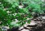 夏天的枫叶图片