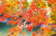 苏州天平山秋色枫叶图片