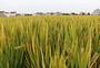 稻田水稻图片