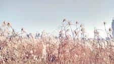 秋天的芦苇图片