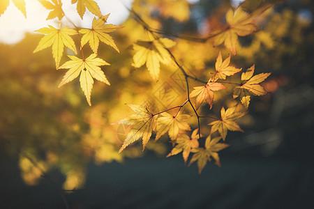秋叶picture