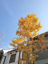 一棵银杏树图片