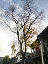 枯树与银杏树图片