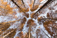金黄色的秋天树林仰拍图片