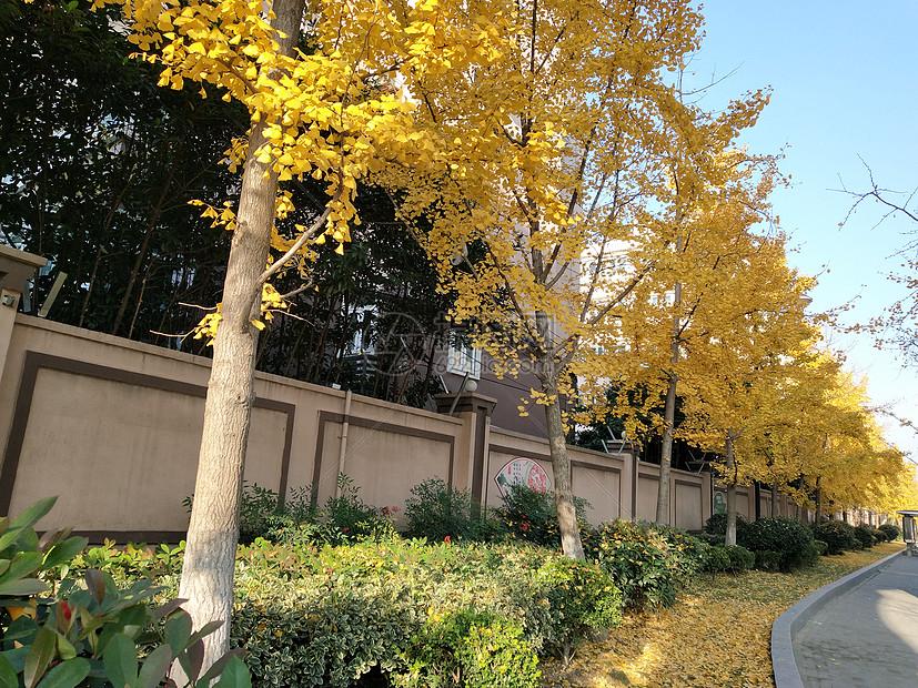 一排银杏树图片