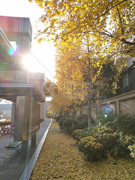 温暖阳光 银杏树图片