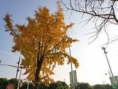 天空下的银杏树图片