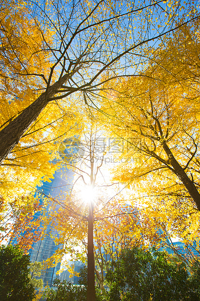 银杏树图片