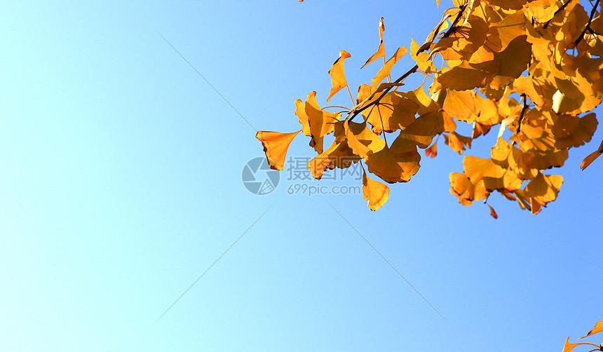 一枝银杏图片