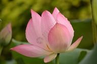 荷花和莲蓬荷叶图片