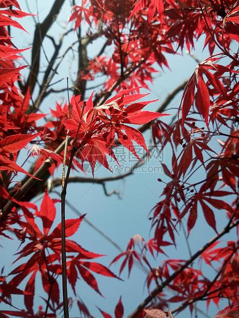 透红的枫叶图片