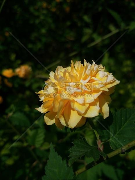 一朵时光静好的黄花图片