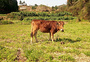 田地里的黄牛图片