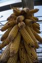 深秋初冬的玉米图片