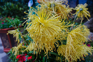 秋天的彩色菊花图片