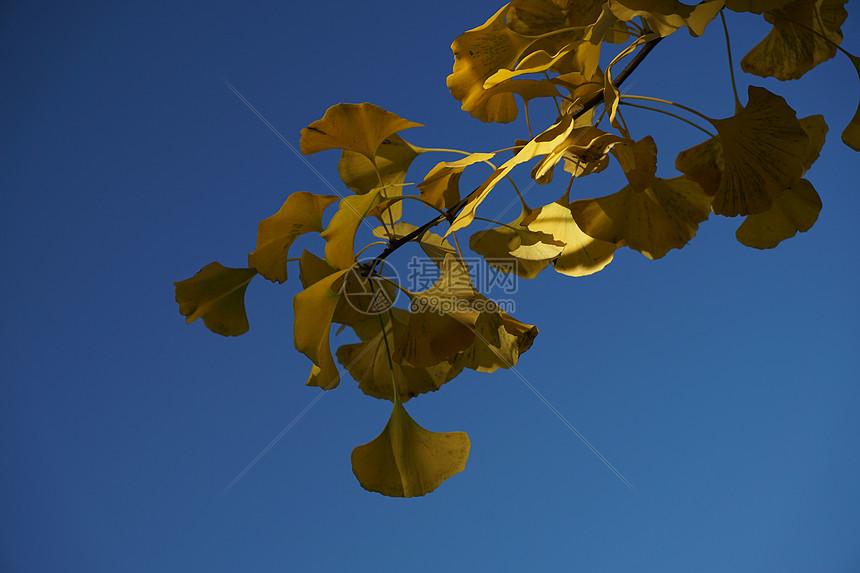 金色的银杏叶图片
