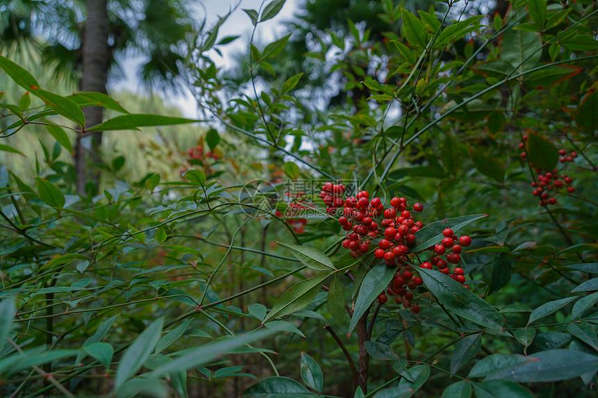 冬季成熟的小红果图片