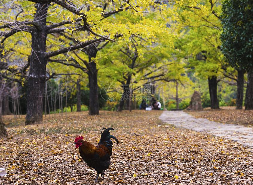 雄鸡颂晚秋图片