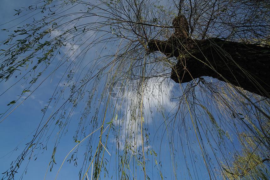 初冬的柳树图片