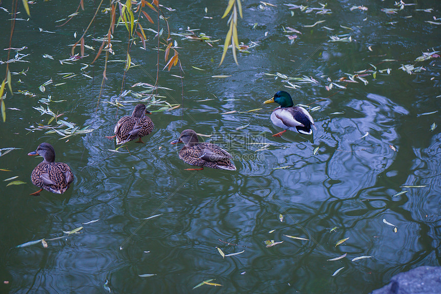 冬季的湖和冰湖游泳的鸭子图片