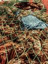 秋冬成熟的螃蟹图片