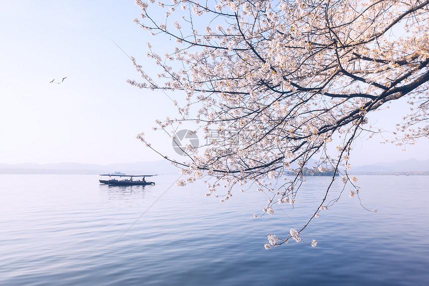 西湖樱花浪漫时图片